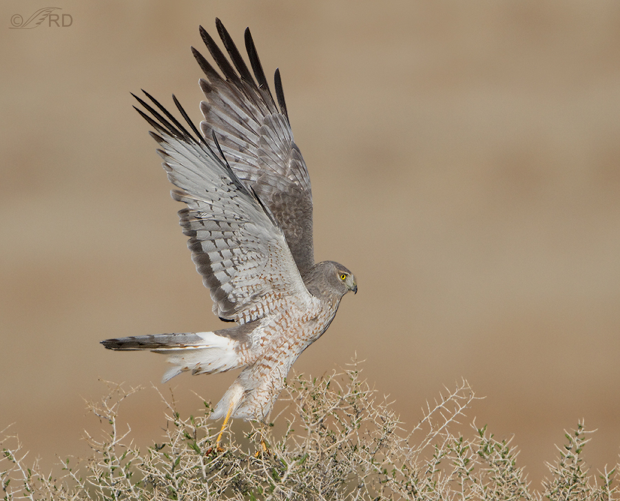 northern-harrier-0614