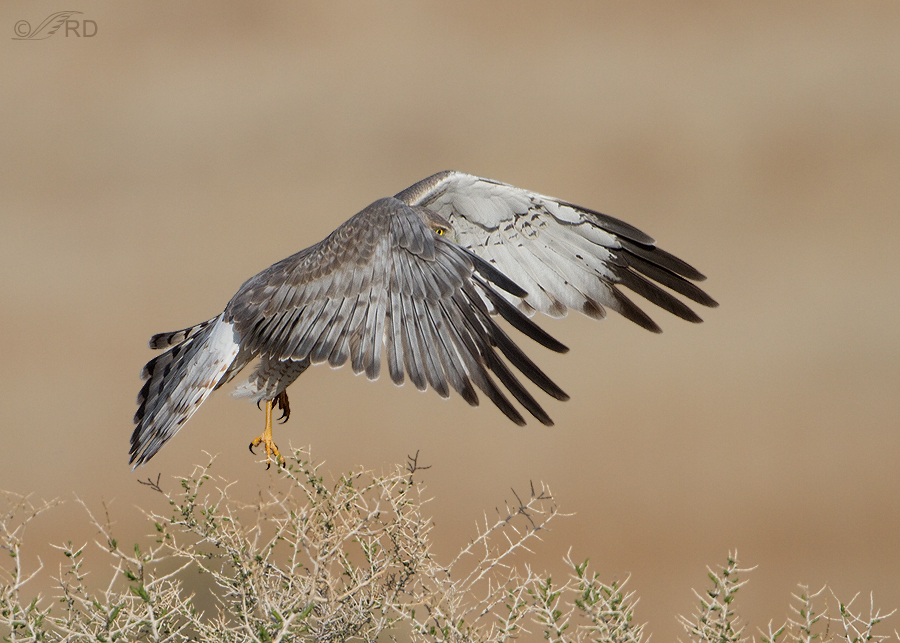 northern-harrier-0615