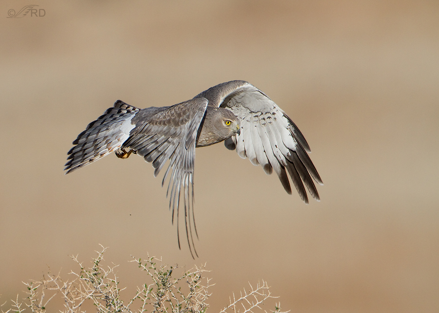 northern-harrier-0617