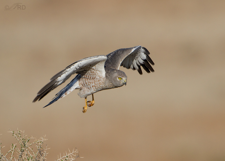northern-harrier-0619