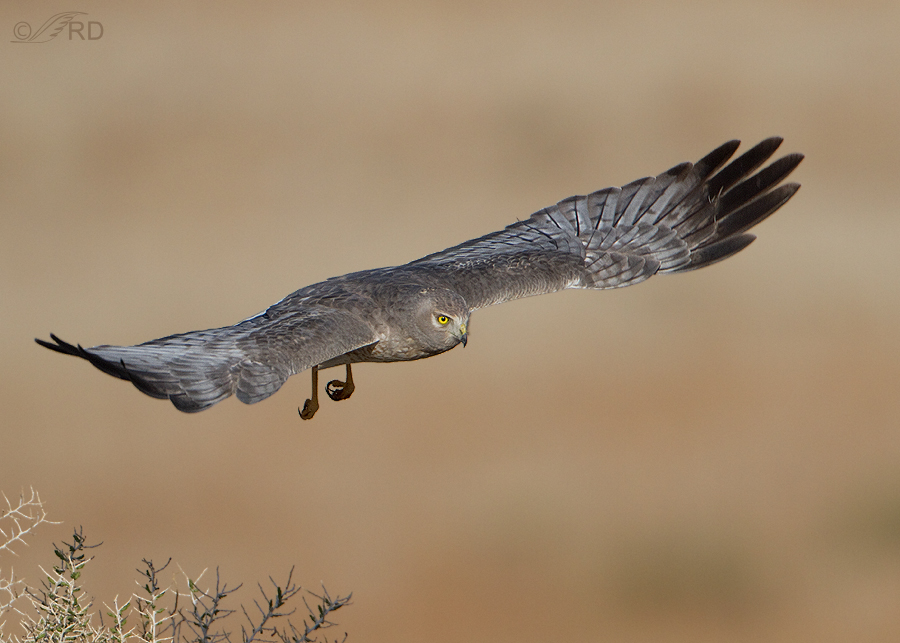 northern-harrier-0620