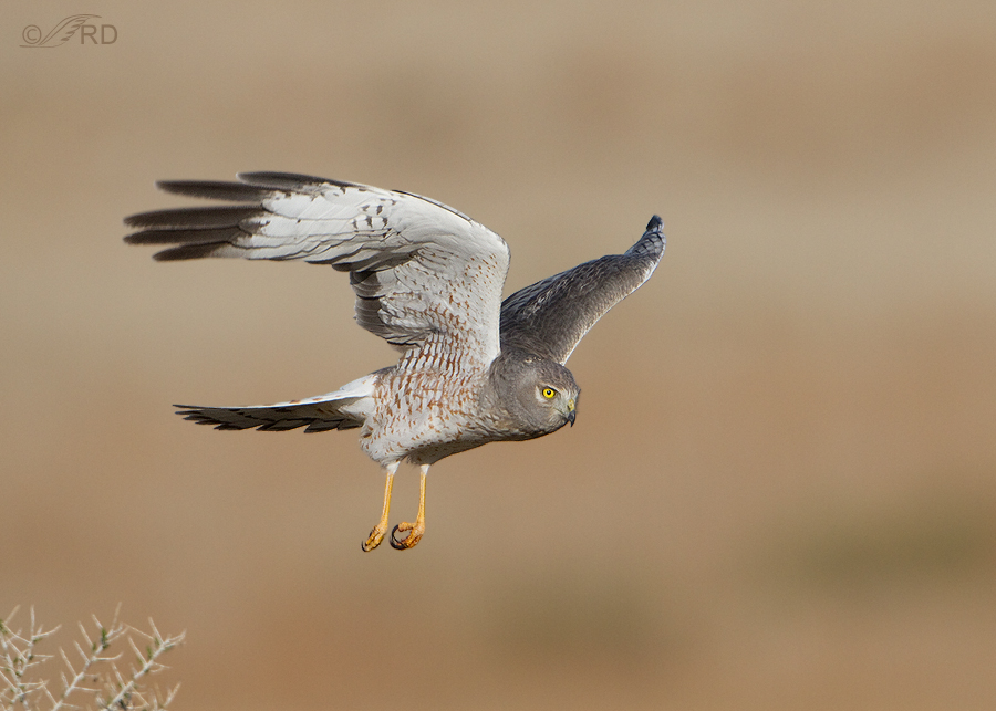 northern-harrier-0621