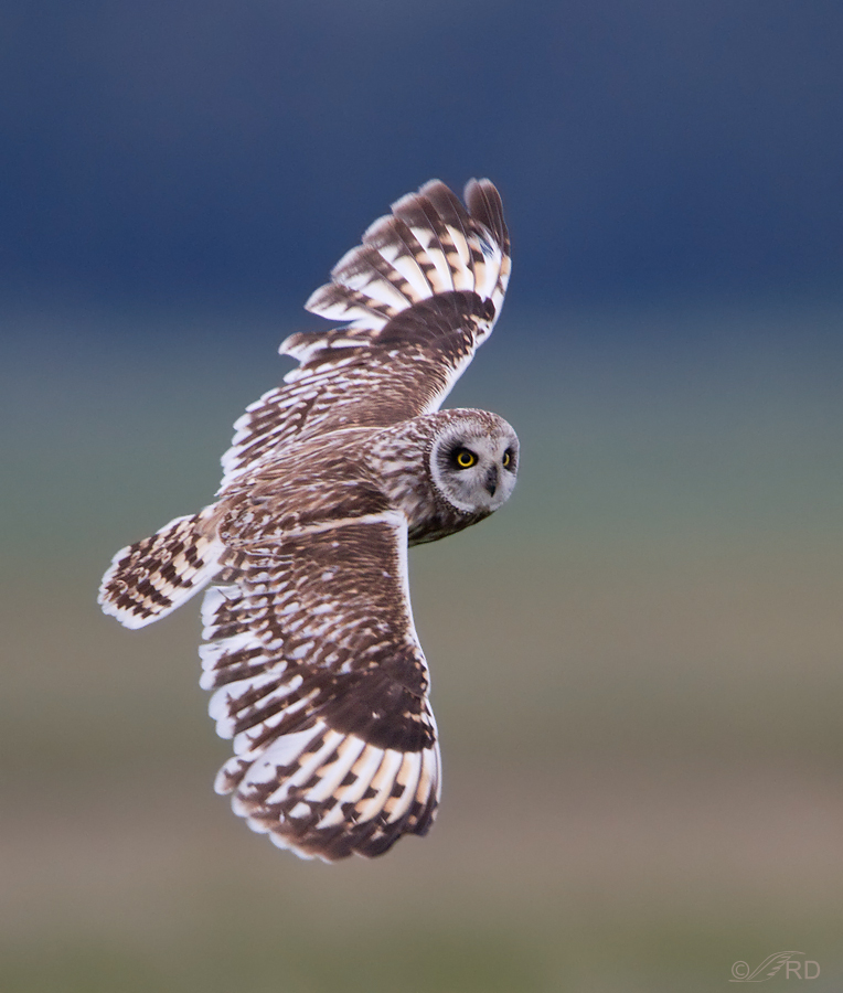Just A Shot That I Like 25 Male Short Eared Owl In Flight 171 Feathered Photography