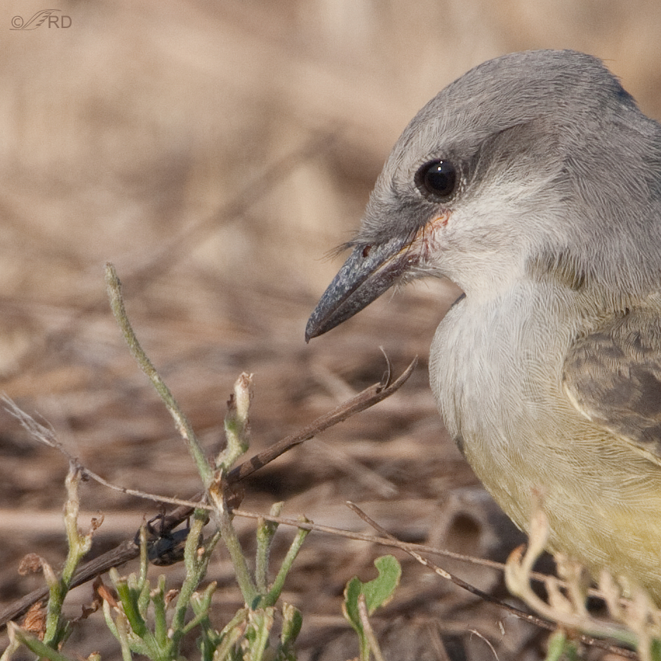 western-kingbird-2672-closeup