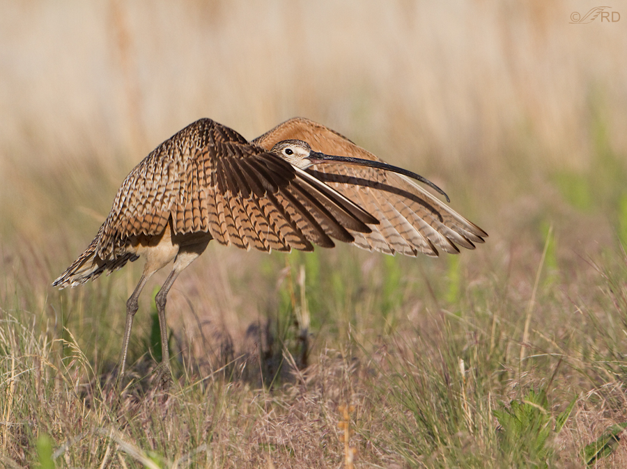 long-billed-curlew-2052