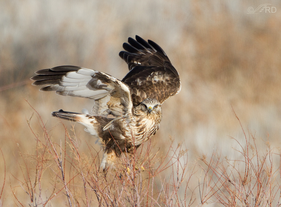 rough-legged-hawk-0251