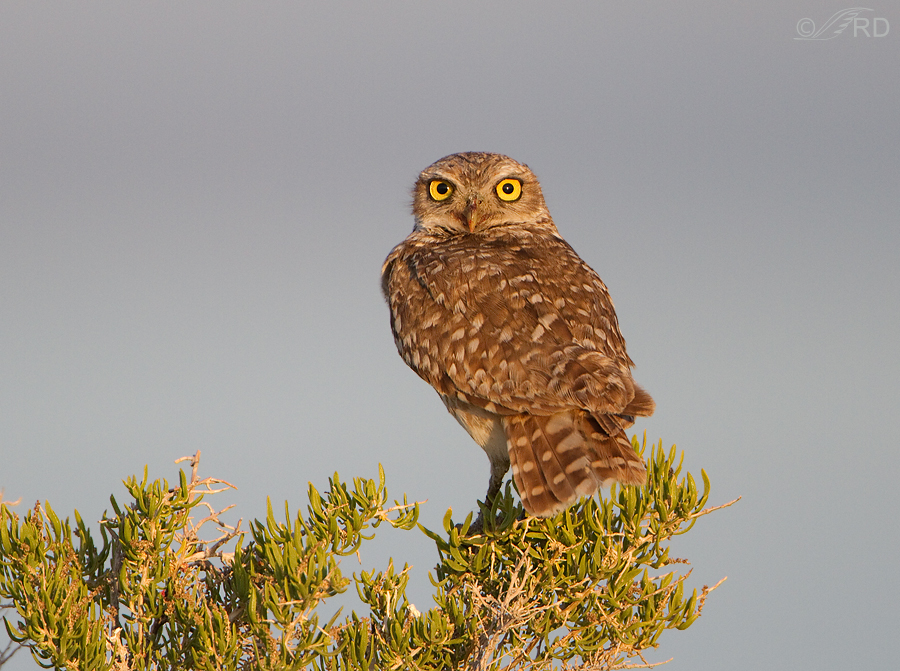 burrowing-owl-0281