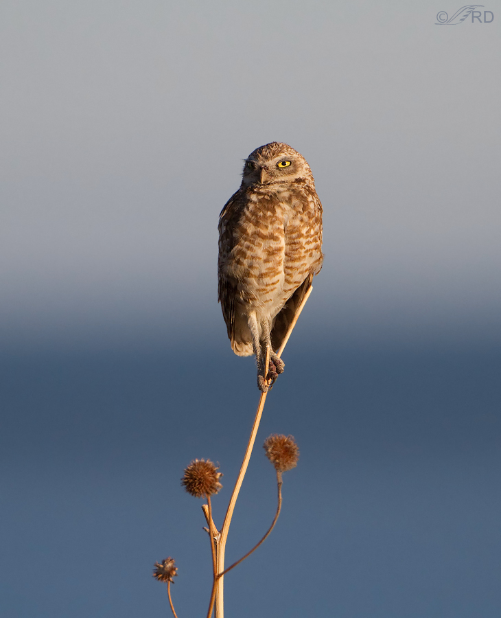 burrowing owl 2064 ron dudley