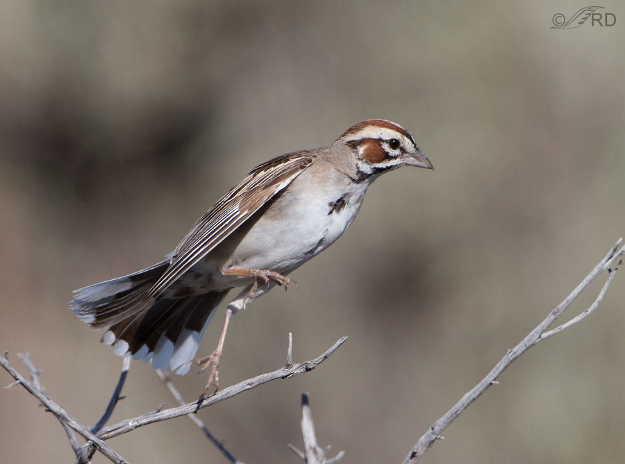 lark-sparrow-3133-ron-dudley