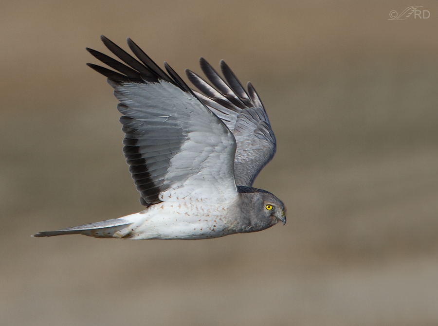 northern-harrier-6049