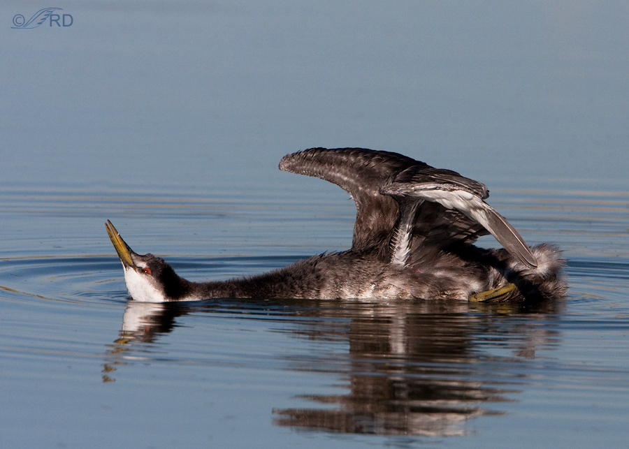 western-grebe-0840