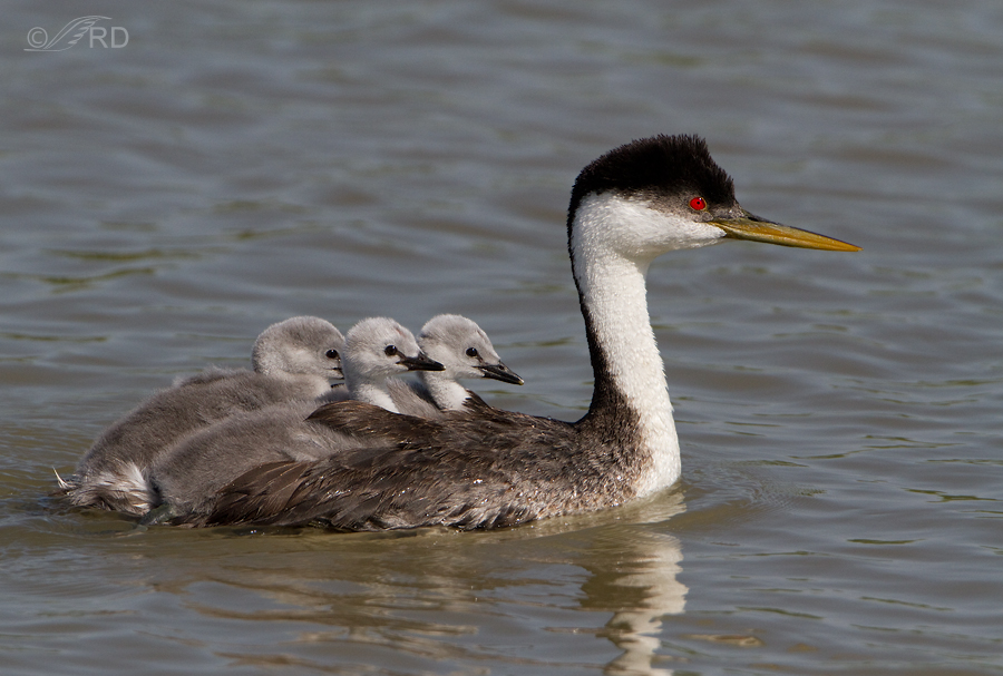 western-grebe-6607