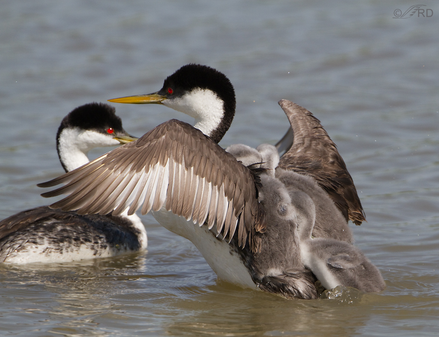 western-grebe-6762