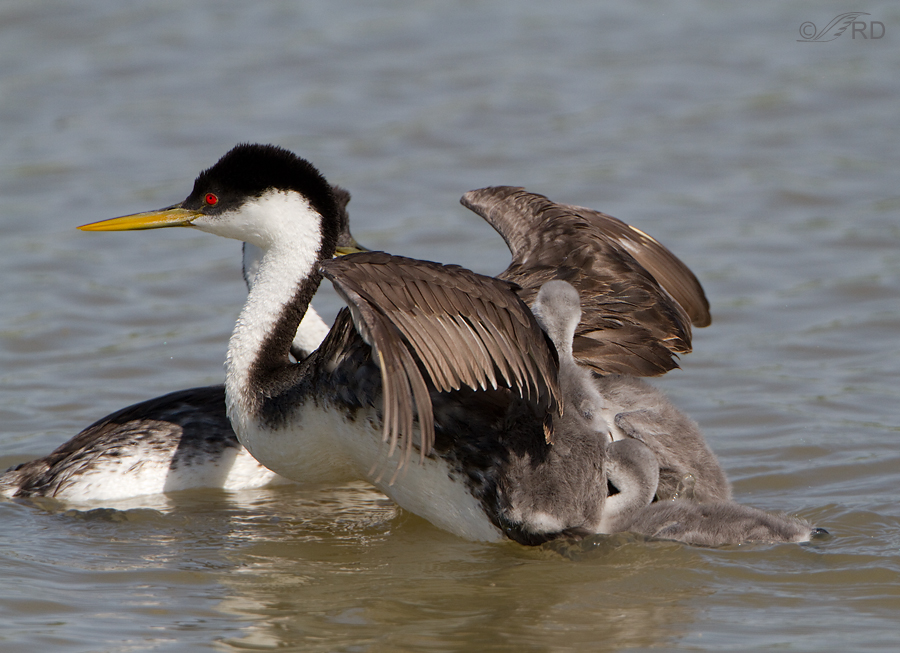 western-grebe-6764