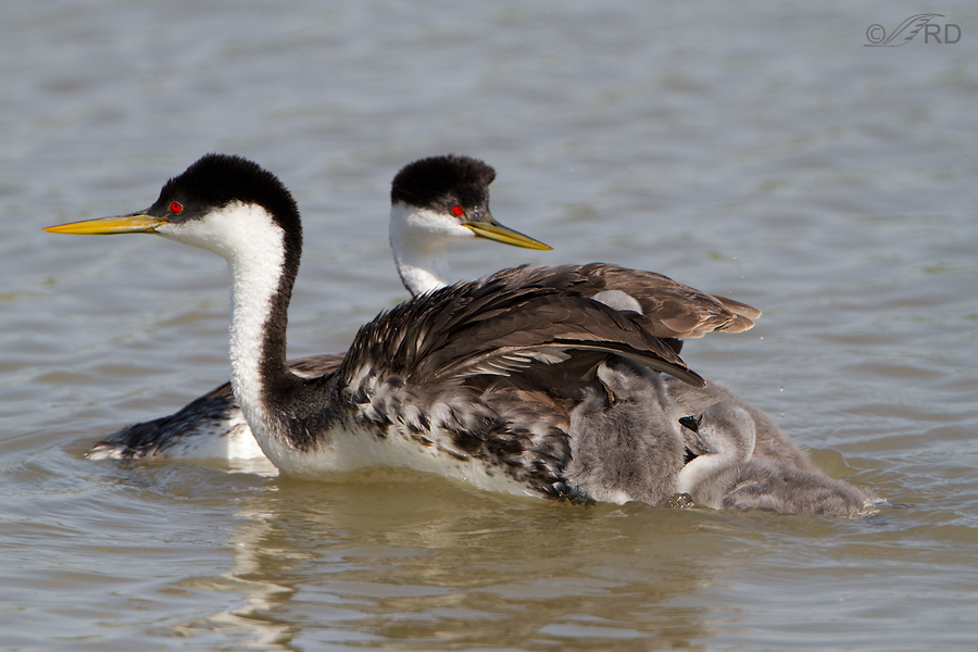 western-grebe-6765