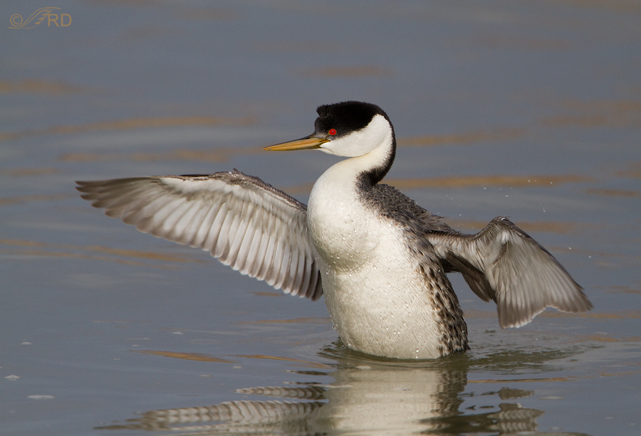western-grebe-8665
