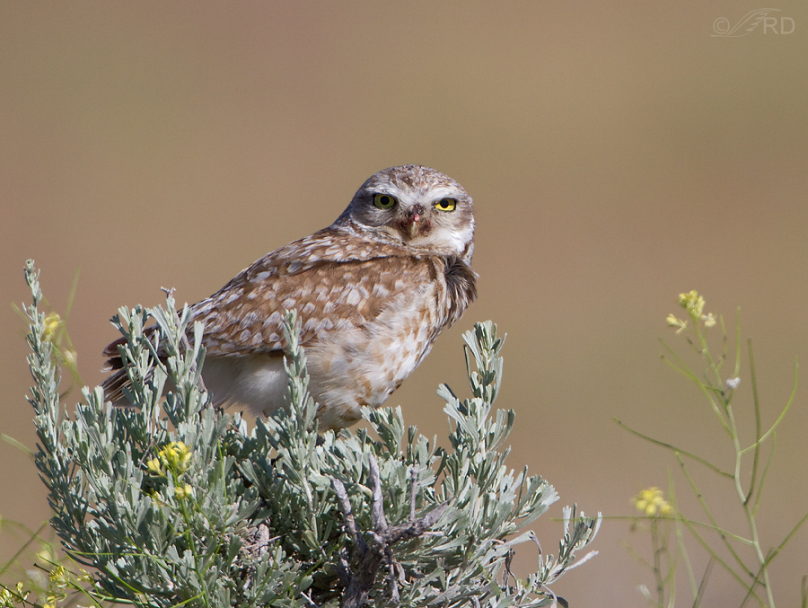 burrowing owl 0857 ron dudley