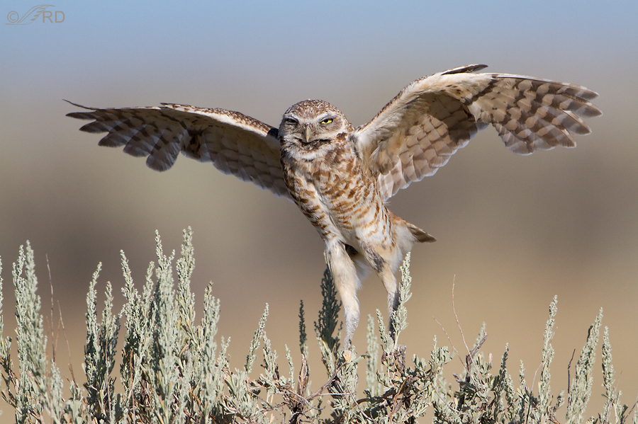 burrowing owl 2379 ron dudley