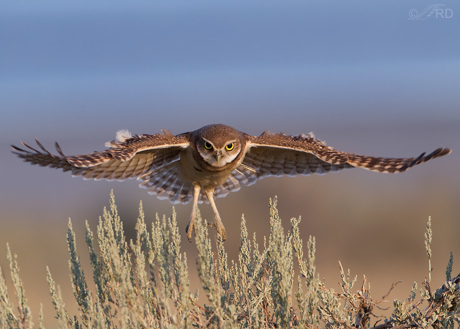 burrowing owl 6449 ron dudley