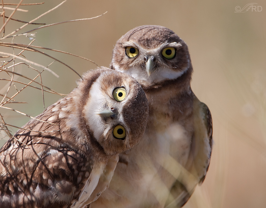 burrowing owl 9440 ron dudley