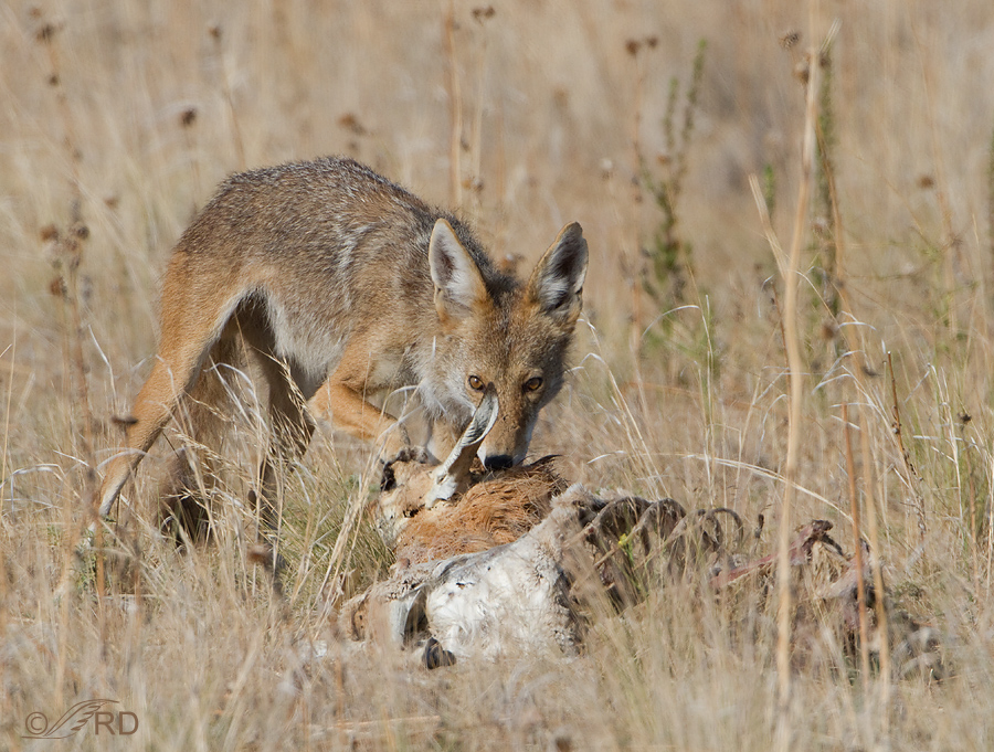 Antelope Island A Smorgasbord For Coyotes 171 Feathered