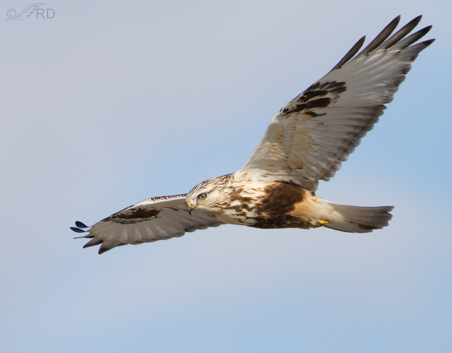 rough legged hawk 2025 ron dudley