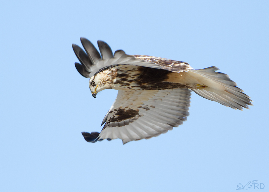 rough legged hawk 2056 ron dudley