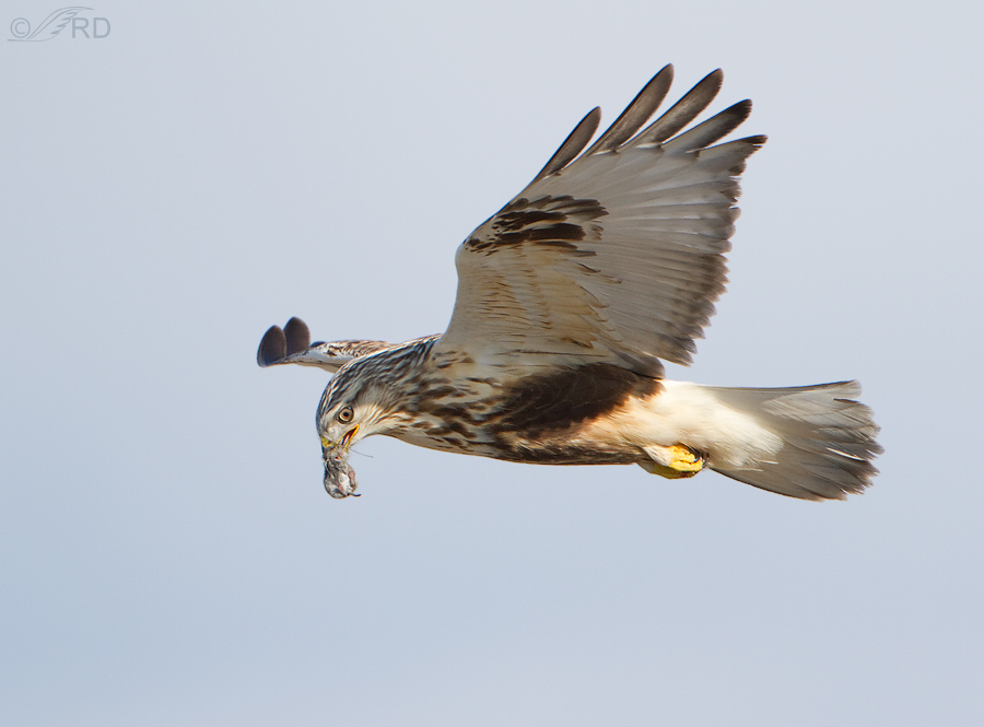 rough legged hawk 2193 ron dudley
