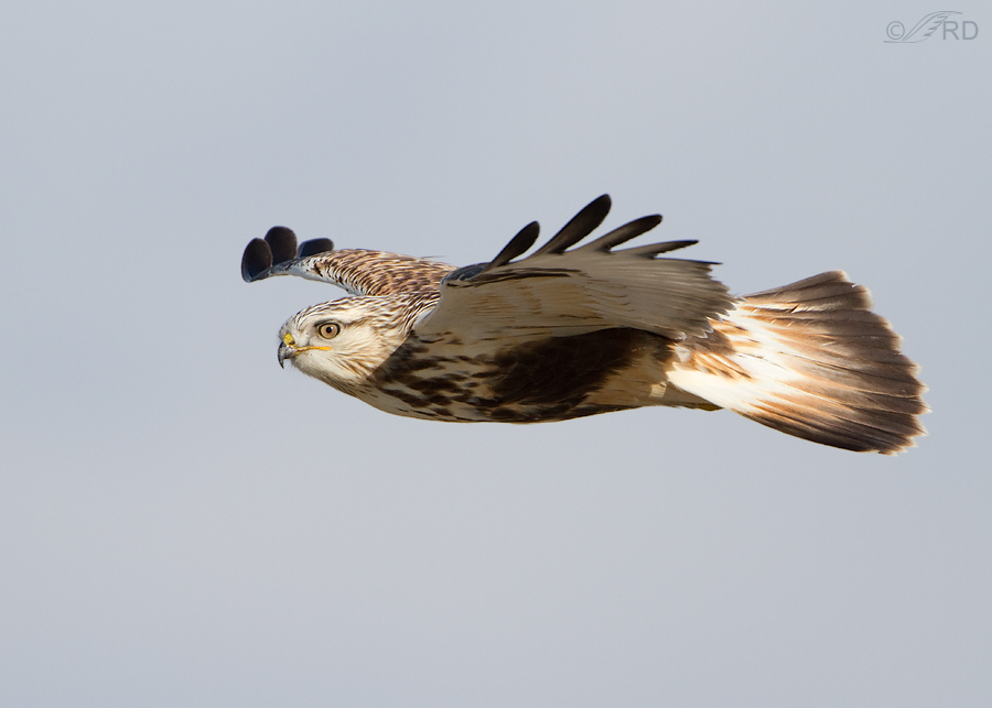 rough legged hawk 2389 ron dudley