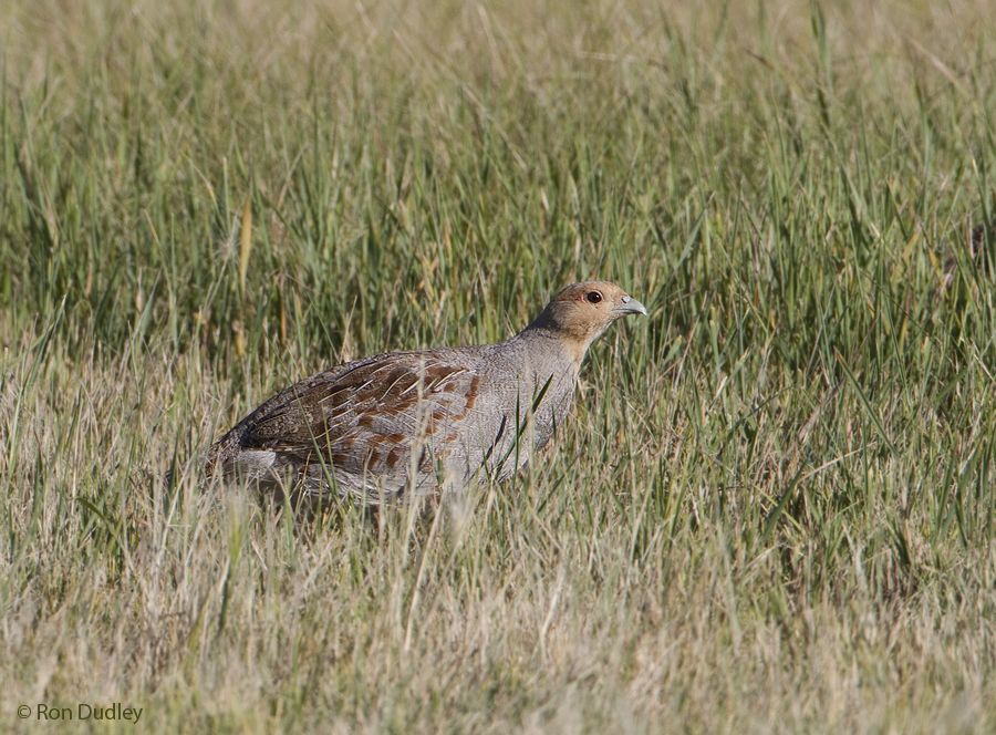 gray partridge 2434 ron dudley
