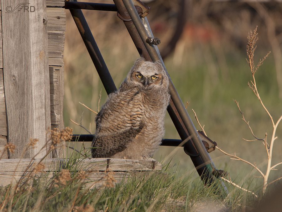 great horned owl 1741 ron dudley