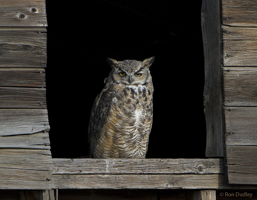 great horned owl 2658 ron dudley