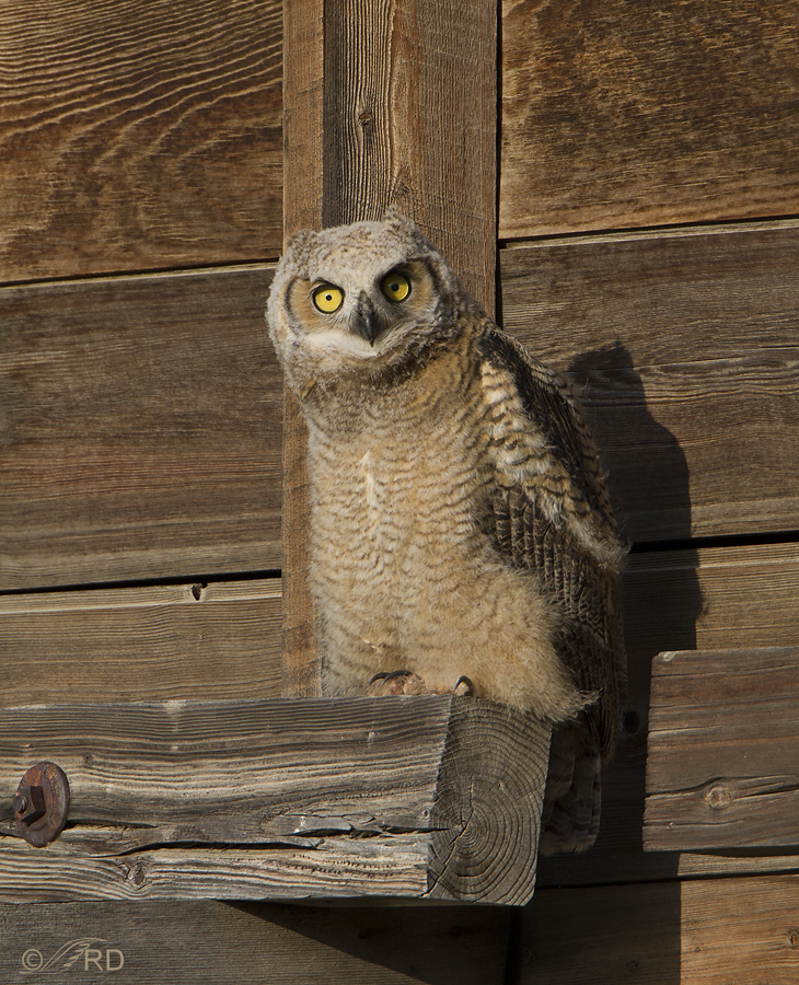 great horned owl 5378 ron dudley