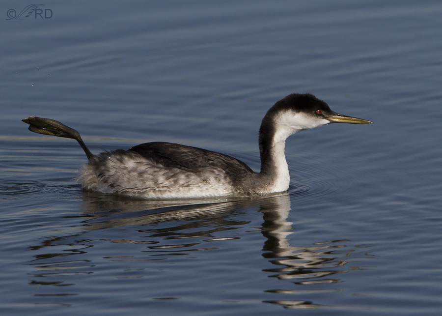 Western Grebes: A Bizarre Behavior Finally Explained