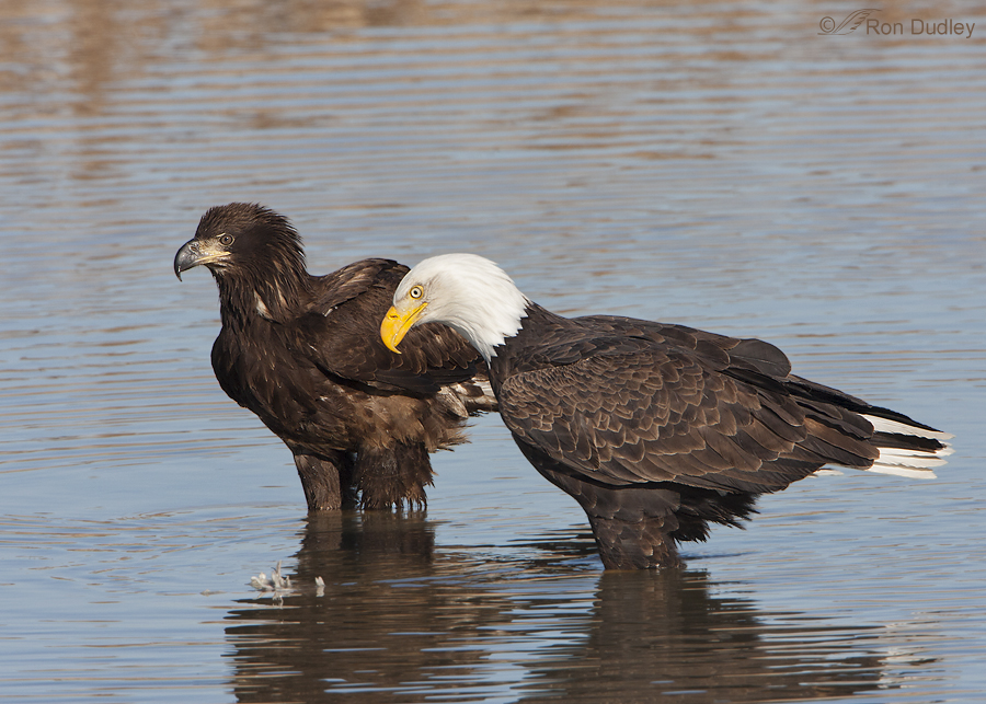 bald eagle 9847 ron dudley