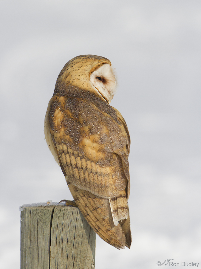 A Tale OF A Barn Owl Tail « Feathered Photography