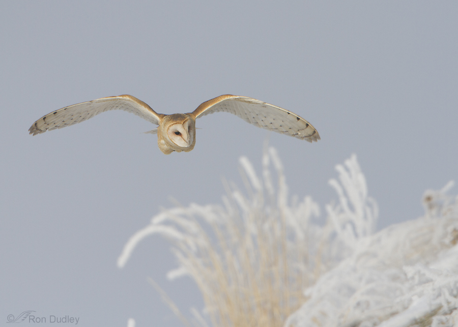 barn owl 5055 ron dudley