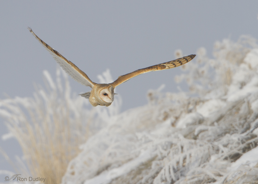 barn owl 5057 ron dudley
