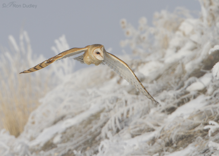 barn owl 5058 ron dudley