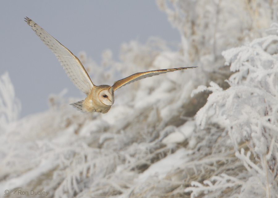barn owl 5059 ron dudley