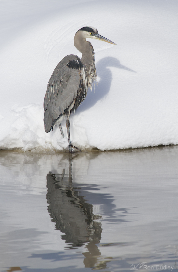 great blue heron (reflection) 3163 ron dudley