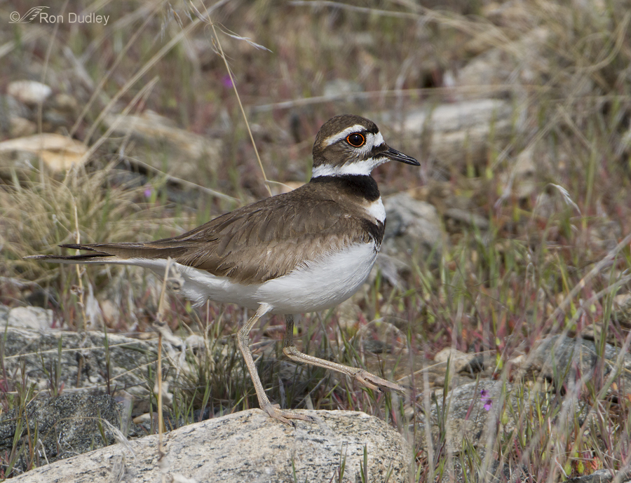 killdeer 1509 ron dudley