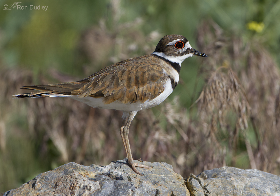killdeer 2549 ron dudley