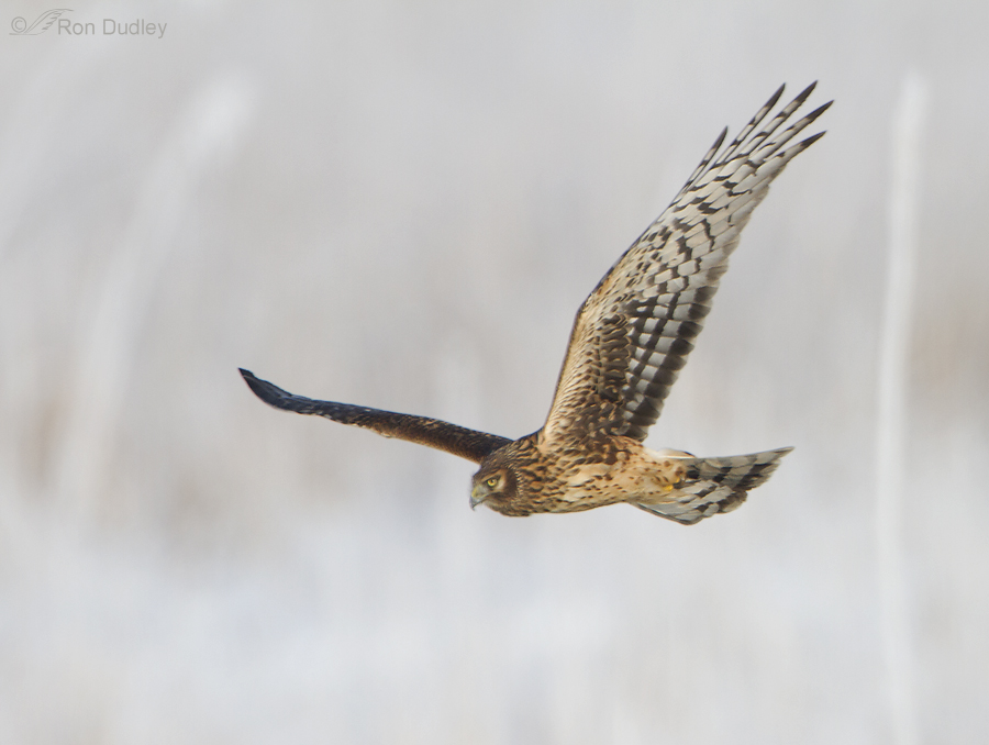 northern harrier 0597 ron dudley