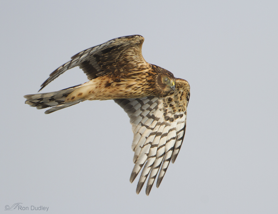 northern harrier 0673 ron dudley