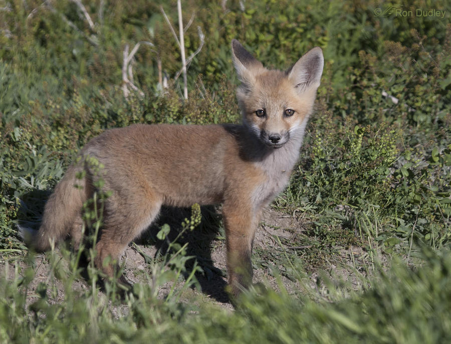 red fox 6241 ron dudley