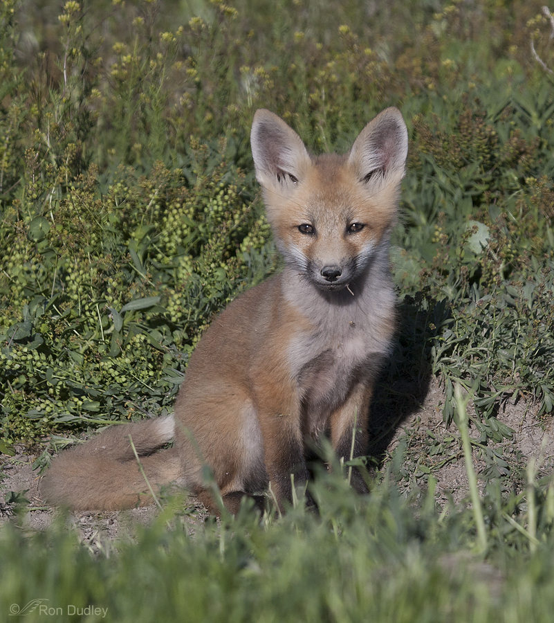 red fox 6249 ron dudley