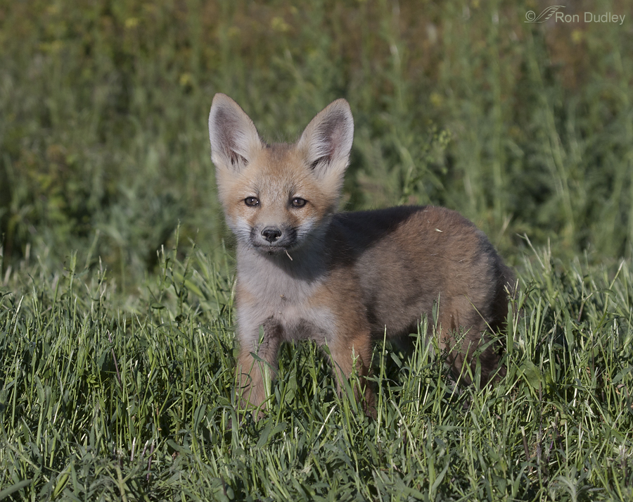 red fox 6261 ron dudley