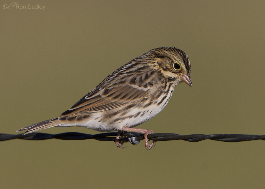 savannah sparrow 2259 ron dudley