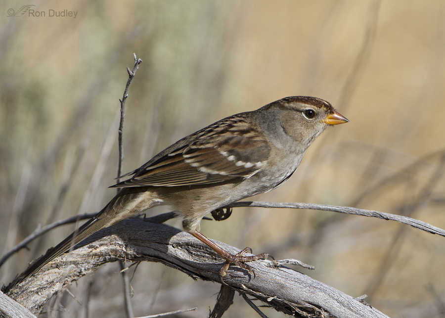 white crowned sparrow 8376 ron dudley